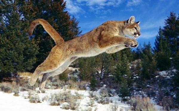 Пума в прыжке (Puma concolor), фото хищные млекопитающие фотография картинка