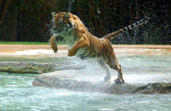 Тигр в прыжке, фото хищники фотография