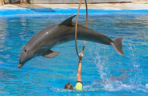 Афалина в прыжке (Tursiops truncatus), фото дельфины фотография