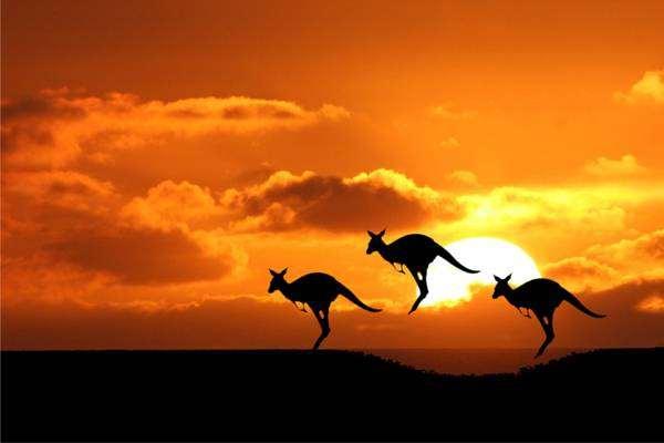 Прыгающие кенгуру, фото сумчатые животные фотография