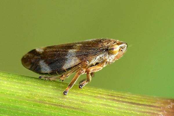 Пенница слюнявая (Philaenus spumarius), фото насекомые фотография картинка