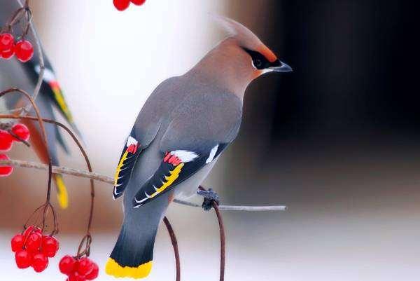 Свиристель (Bombycilla garrulus), фото птицы картинка