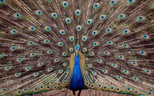 Павлин с распущенным хвостом, фото фазановые птицы фотография