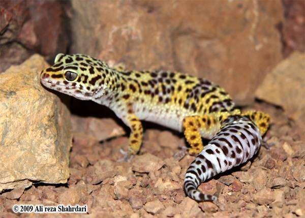 Туркменский эублефар (Eublepharis turcmenicus), фото ящерицы гекконы картинка фотография