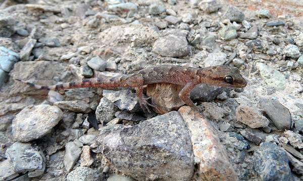 Гладкий геккончик (Alsophylax laevis), фото ящерицы пресмыкающиеся фотография картинка