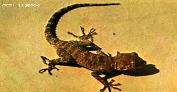 Геккон малочешуйчатый, или длинноногий (Cyrtopodion longipes), фото рептилии фотография картинка