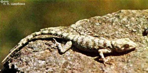 Туркестанский геккон (Cyrtopodion fedtschenkoi), фото рептилии ящерицы фотография картинка