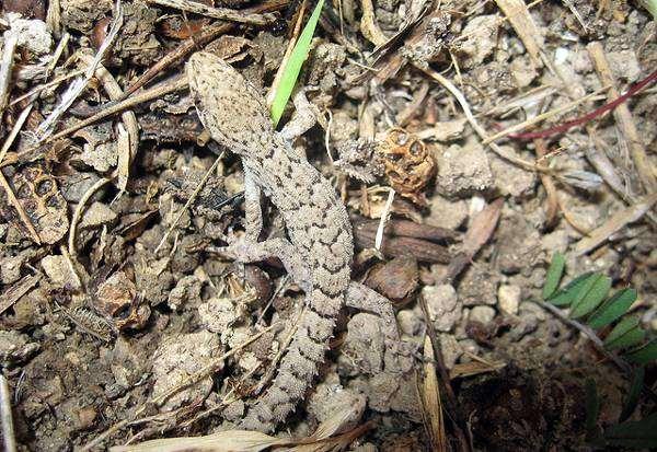 Средиземноморский геккон (Cyrtopodion kotschyi), фото рептилии ящерицы фотография картинка