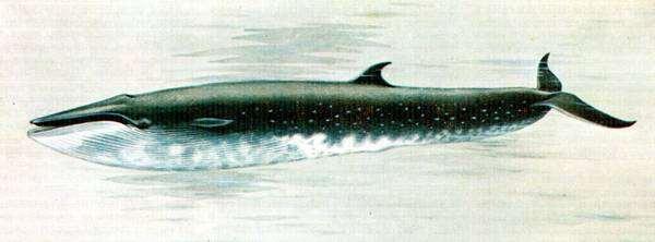 Сейвал (Balaenoptera borealis), картинка рисунок китообразные изображение