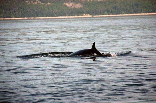 Малый полосатик (Balaenoptera acutorostrata), фото киты фотография картинка