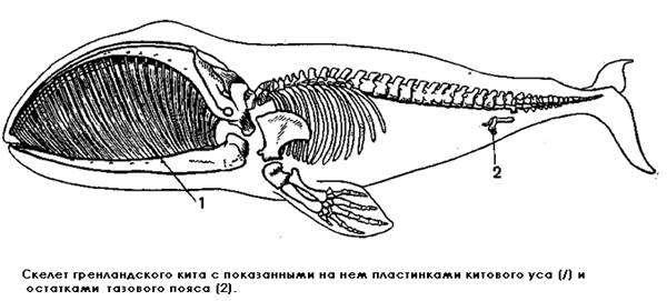 Скелет гренландского (полярного) кита с показанными на нем пластинками китового уса и остатками тазового пояса (Balaena mysticetus), черно белая картинка изображение