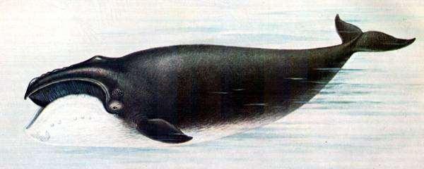 Северный гладкий кит (Eubalaena glacialis), рисунок картинка морские млекопитающие