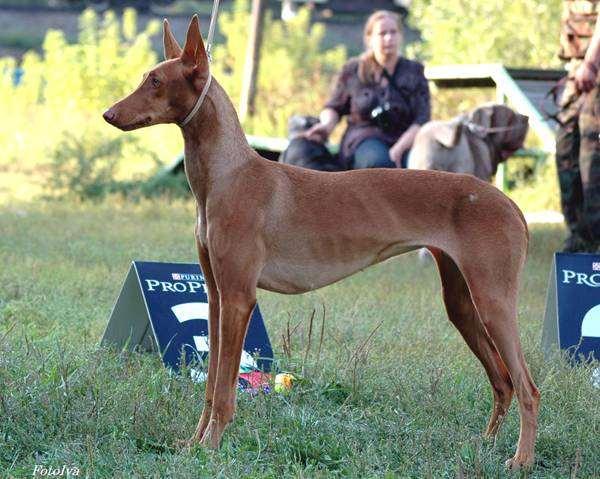 Фараонова собака, собаки породы собак фото фотография картинка
