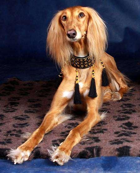 Салюки, или восточная борзая, фото породы собак фотография