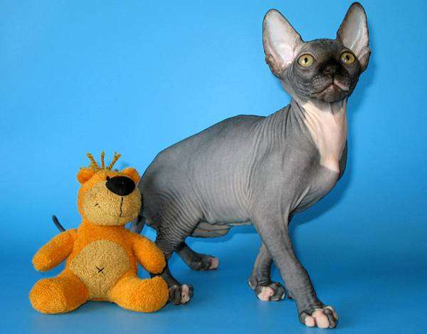 Канадский сфинкс, фото породы кошек фотография картинка