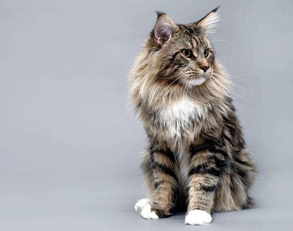Породы кошек  Мурлыка