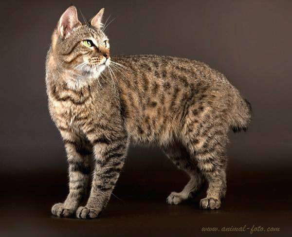 Пикси-боб, пиксибоб, фото породы кошек фотография картинка