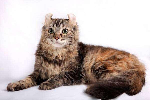 Американский керл кёрл, фото породы кошек фотография картинка