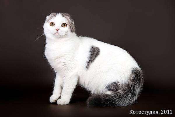 Скоттиш-фолд, или шотландская вислоухая кошка, фото породы кошек картинка