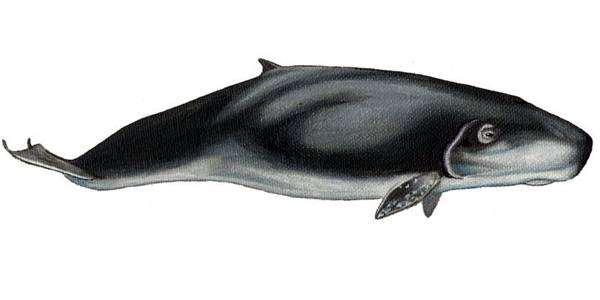 Карликовый кашалот (Kogia breviceps), рисунок карморские млекопитающиетинка
