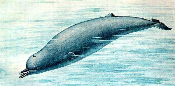 Северный плавун (Berardius bairdi), рисунок картинка морские млекопитающие