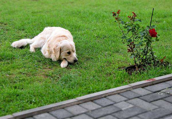 Золотистый ретривер, фото уход за старой собакой фотография