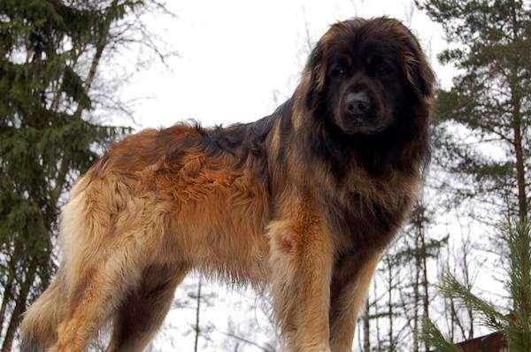 Самые большие огромные собаки планеты