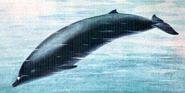 Командорский ремнезуб (Mesoplodon stejnegeri), рисунок картинка морские млекопитающие киты