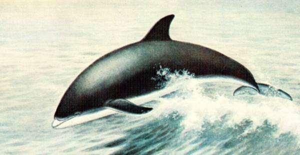 Беломордый дельфин (Lagenorhynchus albirostris), рисунок картинка морские млекопитающие изображение