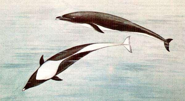 Северный китовидный дельфин (Lissodelphis borealis), картинка изображение морские млекопитающие киты