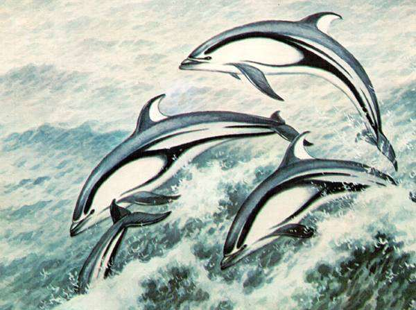 Полосатый продельфин (Stenella caeruleoalbus), полосатая стенелла, рисунок картинка морские млекопитающие дельфины