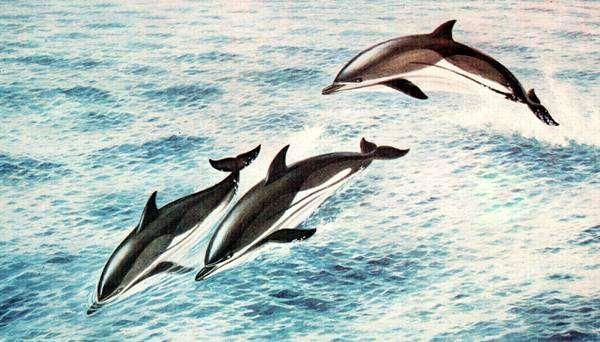 Атлантический белобокий дельфин (Lagenorhynchus acutus), рисунок картинка морские млекопитающие киты