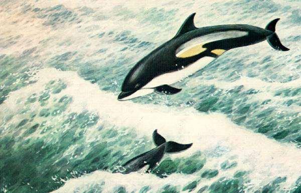 Тихоокеанский короткоголовый дельфин (Lagenorhynchus obliquidens) тихоокеанский белобокий дельфин, рисунок картинка морские млекопитающие