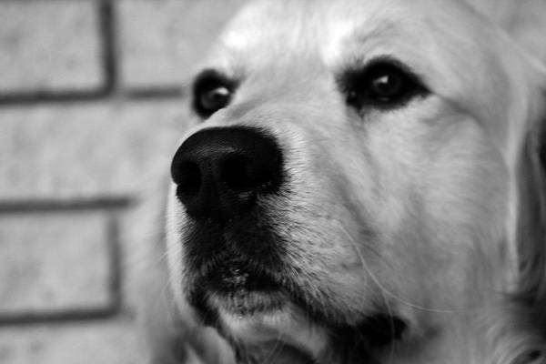 Голден-ретривер, фото путешествия с животными фотография