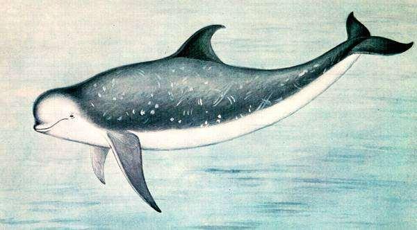 Серый дельфин (Grampus griseus), рисунок картинка морские млекопитающие киты