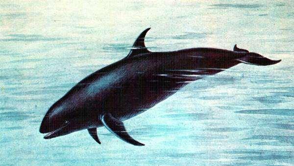 Малая косатка, черная косатка (Pseudorca crassidens), картинка рисунок морские млекопитающие