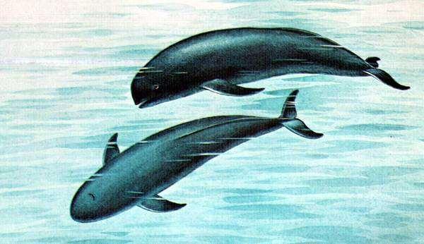 Бесперая морская свинья (Neophocaena phocaenoides), рисунок картинка дельфины киты