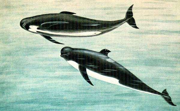 Гринда (Globicephala melas), рисунок картинка морские млекопитающие дельфины