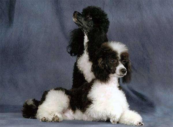 Карликовый пудель, фото породы собак фотография картинка
