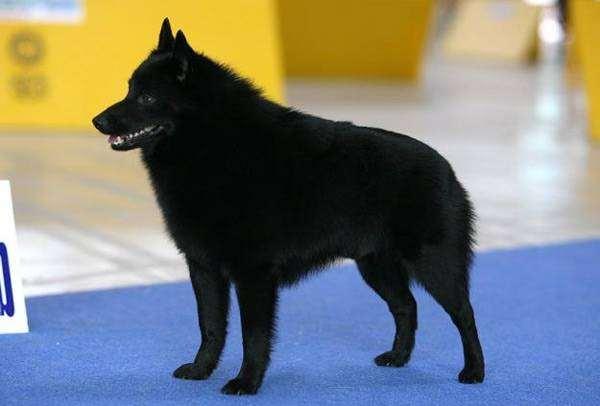 Шипперке, или схиперке, фото породы собак фотография картинка