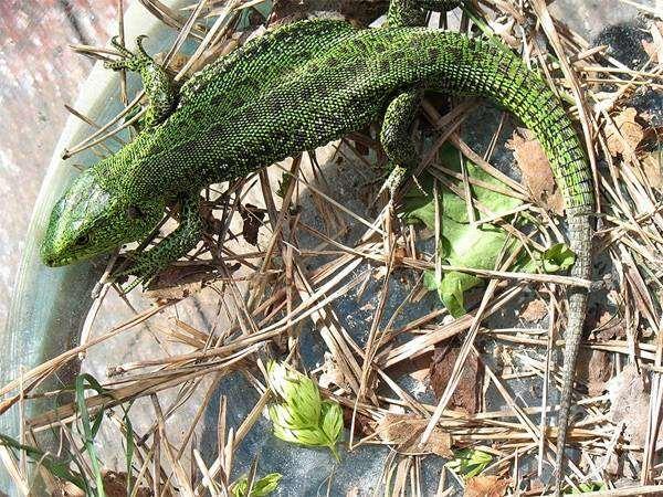 Прыткая ящерица (Lacerta agilis) самец, фото рептилии фотография