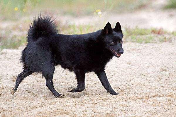 Шипперке, или схиперке, фото породы собак картинка фотография