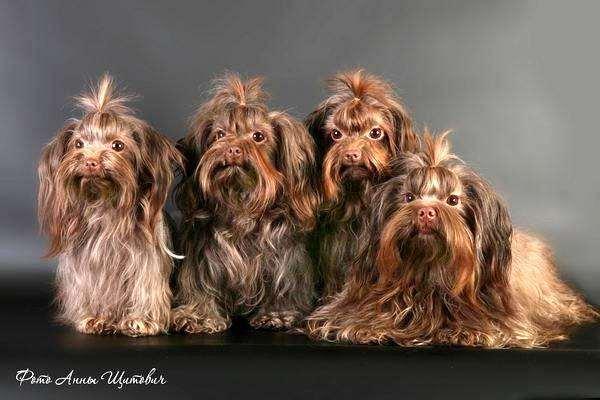 Русская цветная болонка, фото породы собак фотография картинка