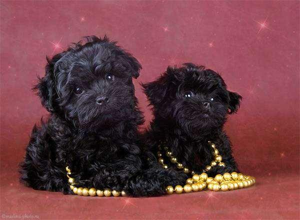 Русская цветная болонка щенки, фото породы собак фотография