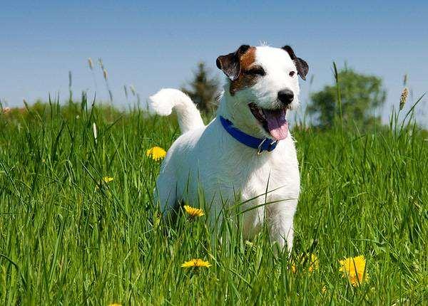 Парсон рассел терьер, фото собаки породы собак картинка