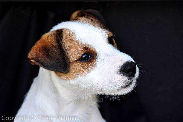 Парсон рассел терьер, фотография породы собак картинка
