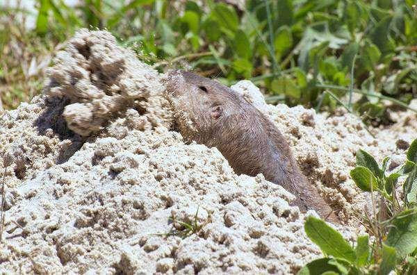 Техасский гофер (Geomys personatus), фото грызуны фотография картинка