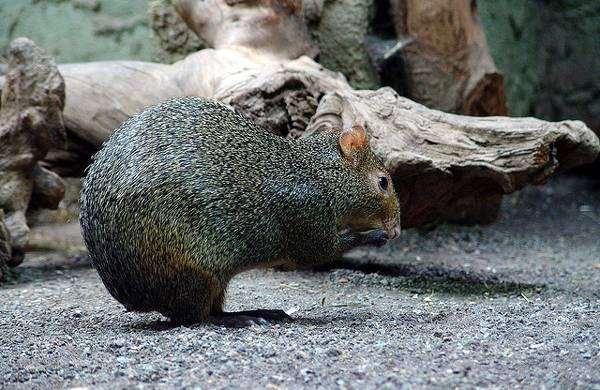 Агути Азары (Dasyprocta azarae), фото грызуны фотография картинка