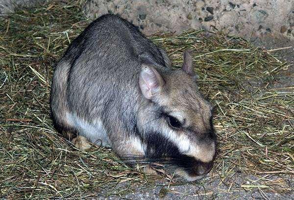 Равнинная вискаша (Lagostomus maximus), фото грызуны фотография картинка шиншиллы