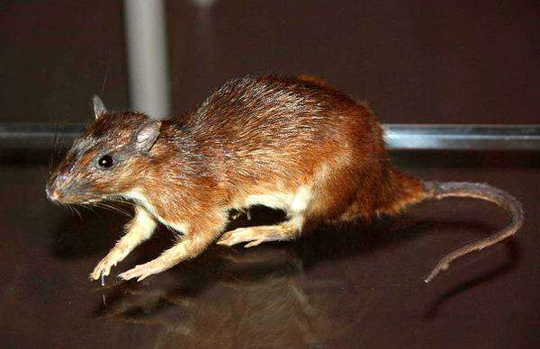 Кювье (Proechimys cuvieri), фото грызуны фотография картинка